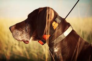 Collier GPS pour chiens de chasse Garmin
