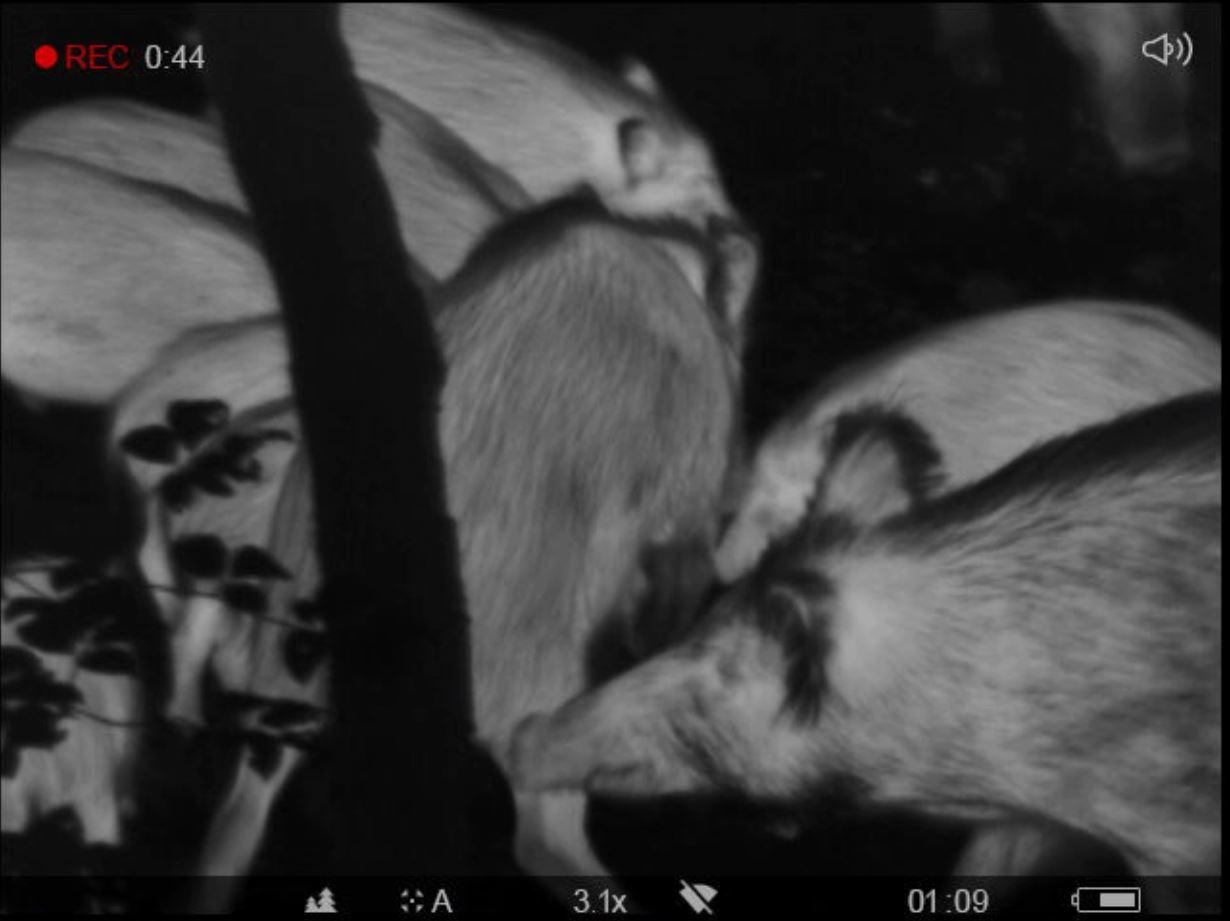Sangliers observés avec une caméra thermique PULSAR